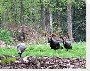 THAT'S BULL Turkeys by Ann Rodriquez
