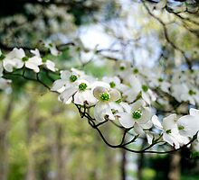 Dogwood Blooms by jselliott