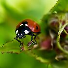Lady bird by Frevik