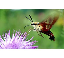 Sweet Tooth  (Hummingbird Moth) Photographic Print