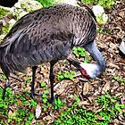 Preening Sand Hill Crane by roselee