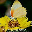 COMMON DOTTED BORDER Mylothis agathina agathina by Magaret Meintjes