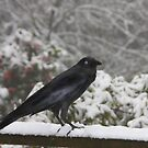 Snow crow by Robyn Lakeman