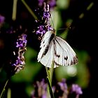white butterfly on lavender by AngelaFoster
