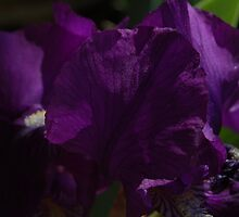 Deep Purple Iris by dragonsnare