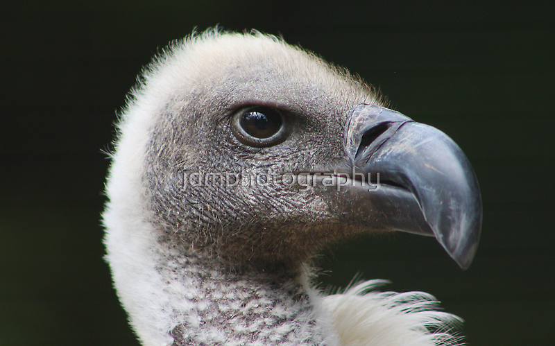 White-backed Vulture Portrait by jdmphotography