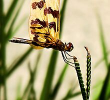 Dragonfly by Nicole Goggins
