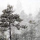 23.1.2015: Pine Trees in Blizzard V by Petri Volanen