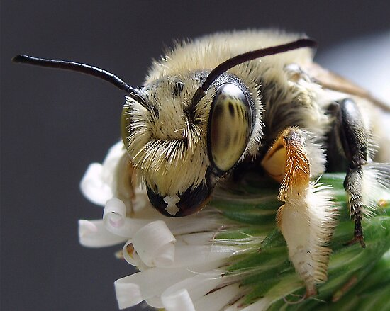 Leafcutter Bee by main1