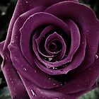 Purple Rose III by CarlaSophia