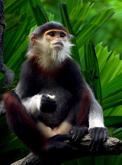 Douc&#x27;s Langur (Pygathrix nemaeus) by JulieM