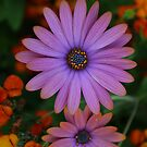 Daisy by Tim Yuan