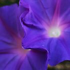 Morning glories - 2013 by Gwenn Seemel
