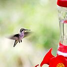 Humming Bird by sara montour