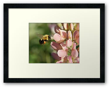 Bumble Bee in Flight by Heidi Hermes
