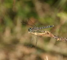 Dragonfly on Branch by AlixCollins
