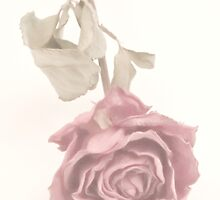 Dried Single Pink Rose by Sandra Foster