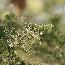 Sweet Bursaria Spinosa by Mereki