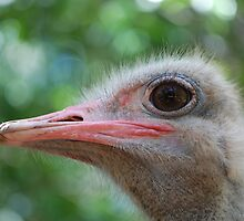Ostrich by ssphotographics