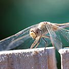 Dragonfly by ssphotographics
