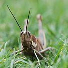 Grasshopper by ssphotographics