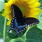 Awww,Butterfly All Black and Blue  by Starr1949