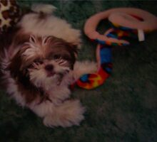 Attack of the Shih Tzu by Terry Schock