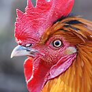 Friendly Chicken by ssphotographics