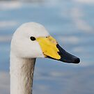 Swan by ssphotographics