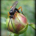 Orange kneed peony licker by Chris Caples