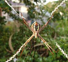 St Andrews Cross Spider on Web by Sharon Robertson