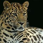 Amur Leopard by Robyn Carter