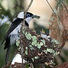 Pied Monarch with Babies by triciaoshea