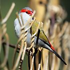 Red-browed Firetail by triciaoshea