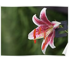 Star Gazer Lily Poster