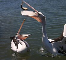 Port Hughes Pelicans by Stuart Daddow Photography