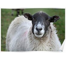 Yorkshire Sheep Poster