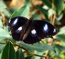 Hypolimnas bolina Butterfly - Quindalup Butterfly & Fauna Park W.A. by Coralie Plozza