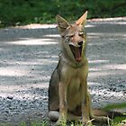 Coyote by Mountaineer