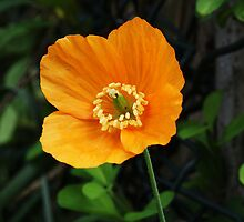 Orange Poppy II by shane22