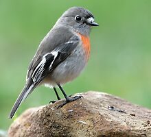 Scarlet Robin by Barrie Collins