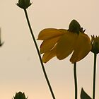 wildflowers at sunset by Robyn Bohlen