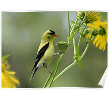 Clinging Goldfinch Poster