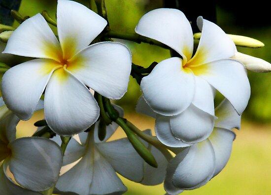 Singapore White Frangipani by JulieM