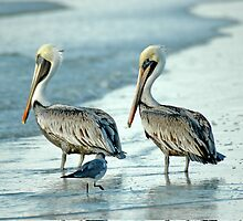 BROWN PELICAN - WINTER (Pelecanus occidentalis) by pjwuebker