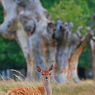 Young fallow deer by Tony Hadfield