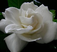 Gardenia by JuliaWright