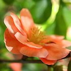 Peach-colored blossom - 2010 by Gwenn Seemel