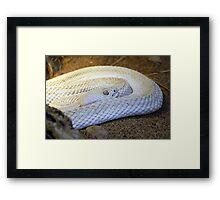 Albino Rattler Framed Print