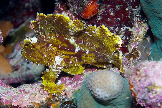 Ribbon Reefs - Green Leaf Scorpion Fish by Douglas Stetner